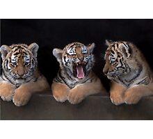 TIGER CUB TRIPLETS Photographic Print