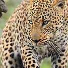 Just another gorgeous african leopard ! by jozi1