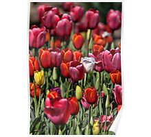Colours of Tulip Poster