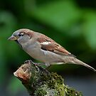 House sparrow by Peter Wiggerman