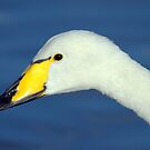 Whooper Swan Portrait by M.S. Photography & Art