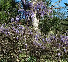Gum and Wisteria -- One for Nick Cave by Digby