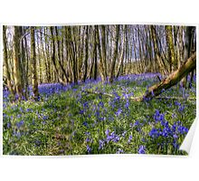 Bluebell Woods Nr. Charing Kent Poster