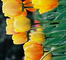Yellow Tulips - Landscape by Citisurfer