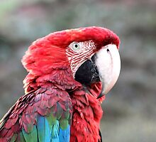 Scarlet Macaw by Citisurfer