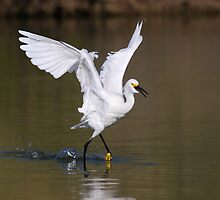 Egret dancing by ruth  jolly