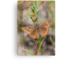 Butterfly or Moth That is the Question Canvas Print