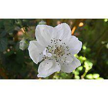 Blackberry Flower Photographic Print