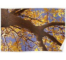 Yellow Locust Tree Poster