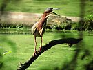 Green Heron Has Something to Say by Veronica Schultz