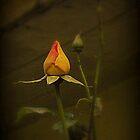Timeless Rose by carolhynes