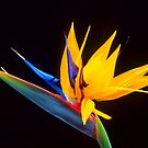 Strelitzia Isolated On Black Background by taiche