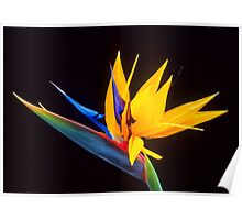 Strelitzia Isolated On Black Background Poster