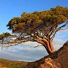 Asciaghju pine by yvesrossetti