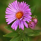 Autumn Aster by lorilee