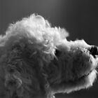 White Fluffy Dog by Jackson  McCarthy