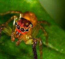 Jumping Spider (Cytaea xanthopus) by Kerrod Sulter