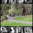 Westerfolds Park Greyhound Walking Group by GreyhoundSN