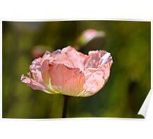 Peach Poppy Poster