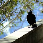 magpie by evvy84