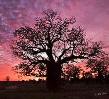 Boab Trees of Derby & West Kimberley Region of Western Australia. © M.J. Foster  by Mary Jane Foster