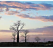 Boab trees at sunrise, Derby marshlands. Kimberley, Western Australia. Photographic Print