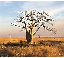 Boab Tree out on the marsh. Derby, West Kimberley region of Western Australia. Photographic Print