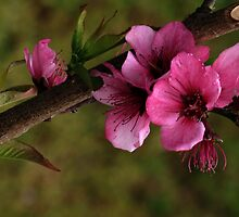 Pink Flower - Tree by Lightack
