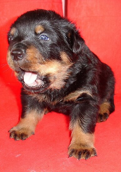 Rottweiler Puppy Howling For Attention by taiche