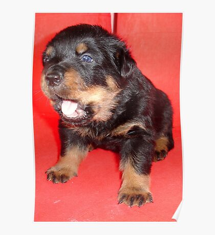 Rottweiler Puppy Howling For Attention Poster