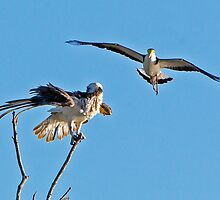 Plover and Osprey by John Van-Den-Broeke
