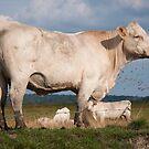 a cow.. by Jari Hudd
