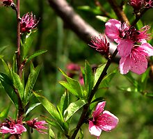 Pink Blossoms  by Lightack