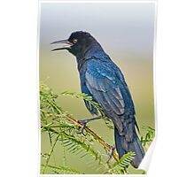 Boat  Tailed Grackle at Lacassine Poster