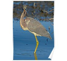 So Proud of Who I Am ( Tri-Color Heron) Poster