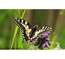 swallowtail butterfly (norfolk uk) Photographic Print