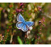 silver studded blue  Photographic Print