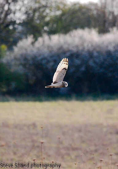 short eared owl by Steve Shand