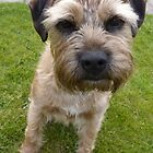 Border Terrier Full Face by John Honeyman