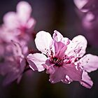 Cherry Blossom backlit by Stephanie Macwhorter