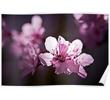 Cherry Blossom backlit Poster