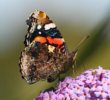red admiral  by Steve Shand