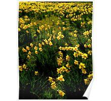 Kew Daffodils Poster