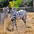 Appaloosa Foal by scenebyawoman