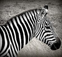 Zebra in BW by stevefinn77