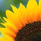 Sunflower by stevefinn77