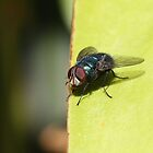 Fly on Leaf by Bami