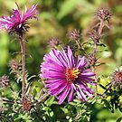 Wild Purple Aster by Linda  Makiej