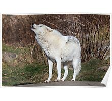 An Arctic Wolf Howls during the day Poster