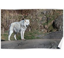 A lone Arctic Wolf Poster